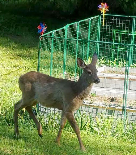 deer outside of garden defender fence
